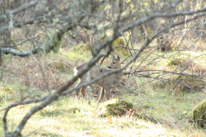 Roe Deer in woodland