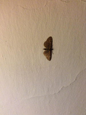 Unknown Pug Moth