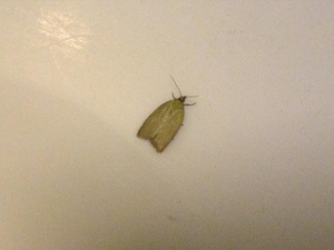 Green Oak Tortrix?