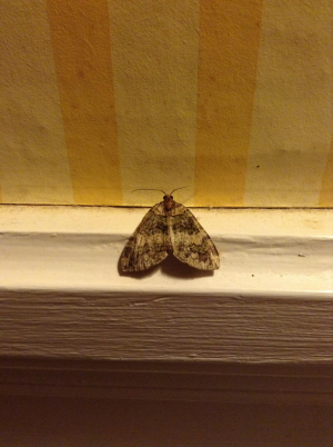 Moth from France