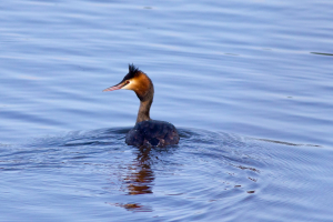 Great Creted Grebe
