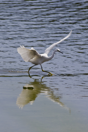 little Egret 21