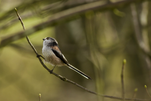Long Tailed Tit_1
