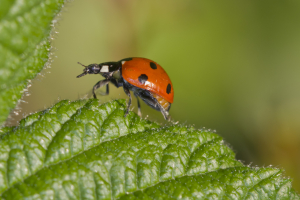 7 spotted Ladybird