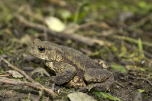 Common Toad_1