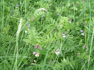 Purple milk vetch