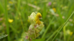Rhinanthus minor-Scrophulariaceae-yellow rattle 2