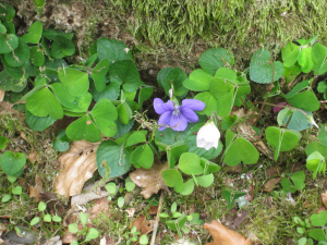 Early Dog Violet (with Wood Sorrell)
