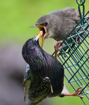 Starling and Chicks