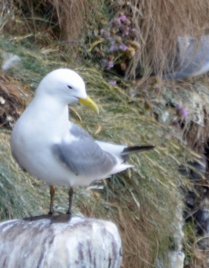 Kittiwake or Common Gull