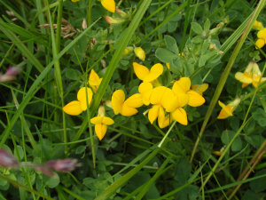 Bird's-foot Trefoil