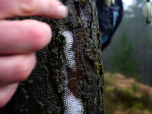 Bubbles on Conifer Bark