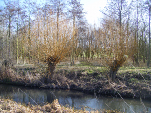 willow  pollarded