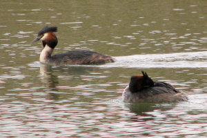 Grebes displaying