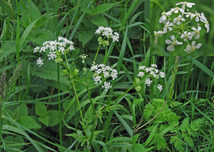 Roadside umbellifer