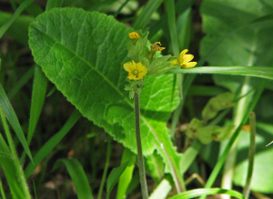 False Oxlip - maybe