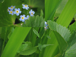 Forget-me-not in garden pond