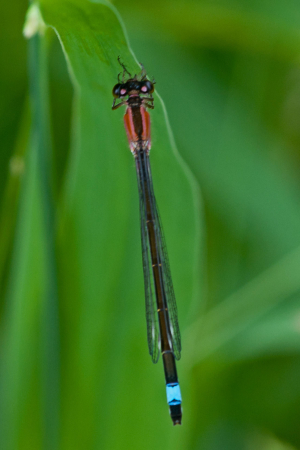 Unusual damselfly