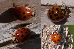 Plethora of ladybirds