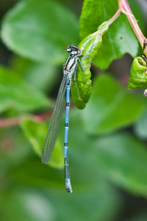 Azure Damselfly, maybe