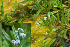 Forget-Me-Not in ditch