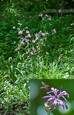 Ragged Robin at Monks Wood