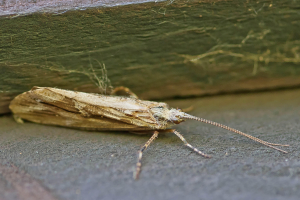 Micromoth in the shade