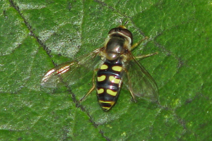Hoverfly on Plum tree leaf