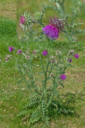 Thistle on Castle Mound