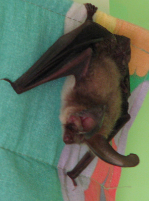 Bat in our house