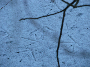 Foot prints of moorhen on snow covered ice at Paxton Pits