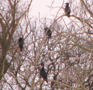 Cormorants roosting at paxton Pits