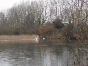 swans fighting for territory