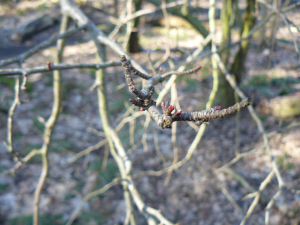 Buds on oak tree branch