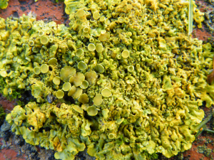 Lime cups and plates lichen
