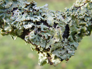 Green/grey foliose lichen