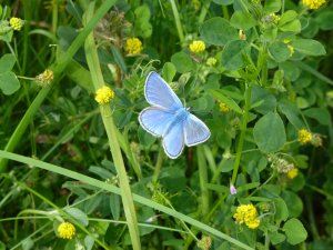 Common Blue butterfly near Orgreave