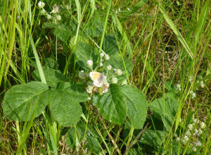 Bramble flowers (with Small Heath Butterfly)