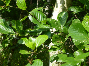 Alder leaves and fruit (with Speckled Wood butterfly)