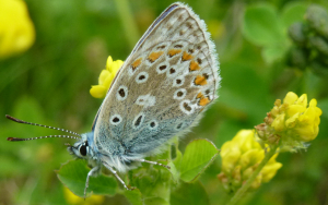 Common Blue butterfly, South Yorkshire