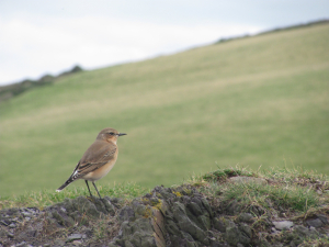 Wheatear - but is it a different type??