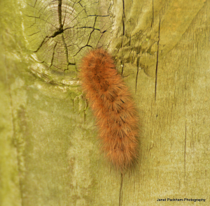 Brown Caterpillar