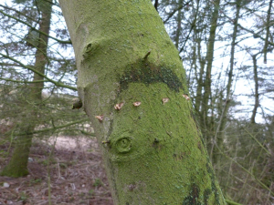 These marks are only on this species, believed to be made by Woodpeckers. Most comments have been 'man made'. Not so.