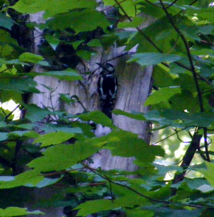 Great Spotted Woodpecker visiting nest