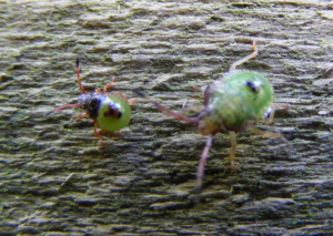 Shieldbug nymphs?