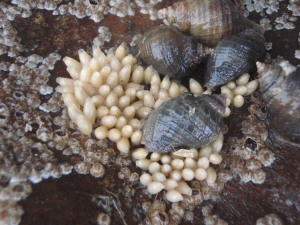 Dog Whelk Eggs