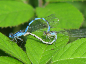 Mating Common Blue Damsleflies