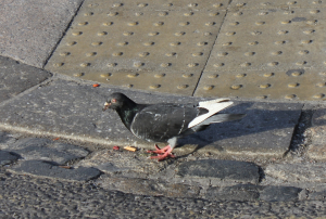 Pigeon - Plymouth City Center