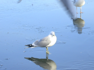 Common Gull at Linlithgow Loch