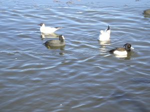 Tufted Duck with Black Headed Gull and Coot